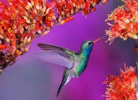 一组可爱觅食的蜂鸟图片