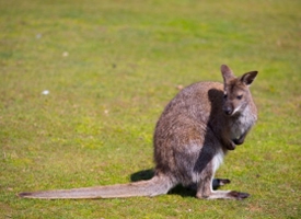 澳大利亚动物袋鼠图片