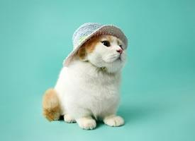 一组胖乎乎的宠物猫图片