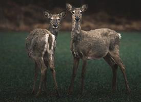 耳朵尖尖可爱的小鹿图片