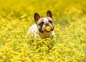 小雏菊花海里拍摄的狗狗