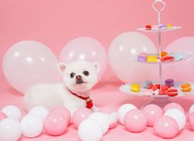 一组超级萌的博美狗狗