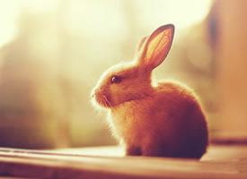 两只耳朵竖起来的小兔子