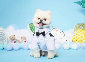 一组超级帅气的博美狗狗