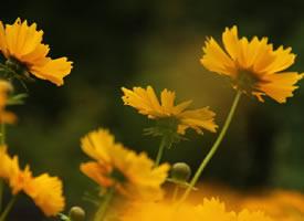 色彩明快、金光璀璨的大花金鸡菊
