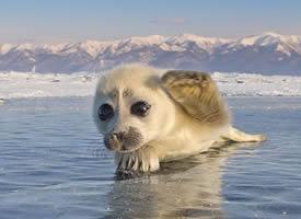 一组眼神超级萌的小海豹