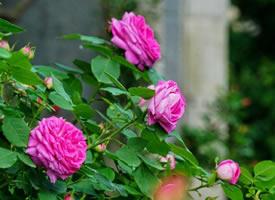 清润风光雨后天。蔷薇花谢绿窗前