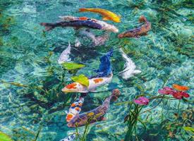 多彩漂亮的锦鲤图片