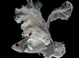 水中舞者——泰国斗鱼