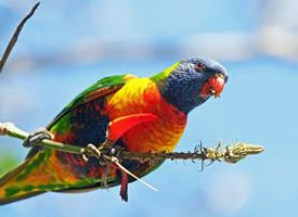 漂亮的七彩鹦鹉图片