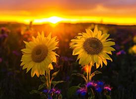 向日葵唯美自然风景桌面壁纸