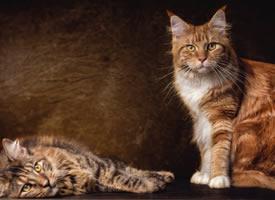 缅因猫摄影高清美图