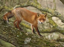"""生活在靠近海岸地区的""""沙丘狐狸"""