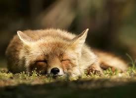 一组野生狐狸近距离拍摄图片