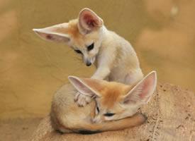 于达姆施塔特动物园拍摄的(耳郭)狐