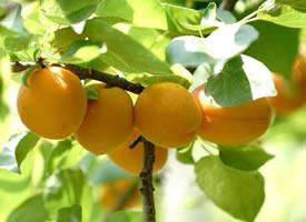 一组黄黄的杏子图片欣赏