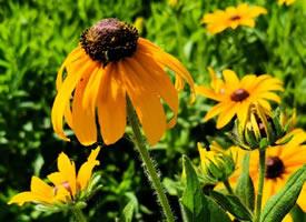 一组金灿灿的黑心金光菊图片
