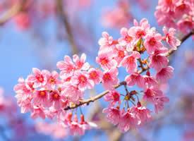 唯美浪漫樱花风景桌面壁纸