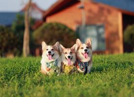 一组超可爱的三只柯基犬图片
