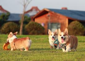 在草坪玩的很开心的柯基
