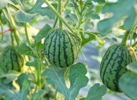 还在地里新鲜的西瓜图片