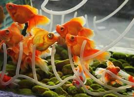 黄色的小金鱼图片
