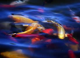 颜色鲜艳的锦鲤图片欣赏