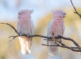 美丽的彩冠凤头鹦鹉图片