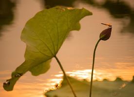 绿阴不断。点水蜻蜓,夕阳天又晚