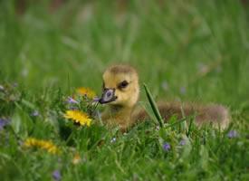一组很可爱的小黄鸭图片