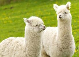 一组眼神萌萌哒的羊驼图片