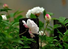 蔷薇花尽薰风起,绿叶空随满架藤