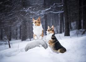 雪地里玩耍的两只柯基犬