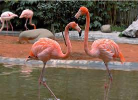 一组漂亮的火烈鸟图片