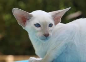 一组泰国暹罗猫图片