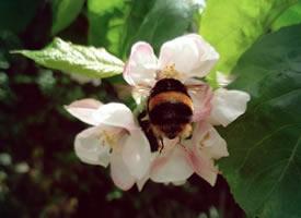一组可爱的熊蜂翘臀图片