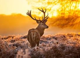 一组夕阳下的麋鹿图片