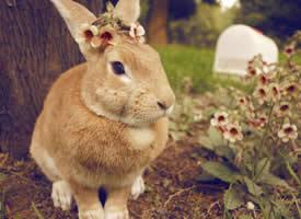 萌萌哒的棕色小兔子图片