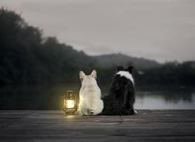 斗牛犬和边牧的可爱图片