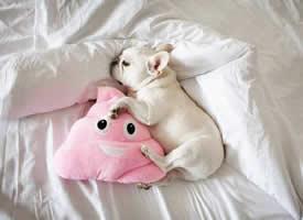 喜欢睡懒觉的白色斗牛犬