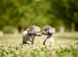 一组超可爱的灰色小狗狗图片