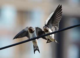 可爱的小燕子图片