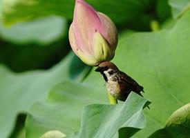 一组可爱的荷塘小麻雀