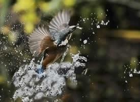 抓拍翠鸟精彩瞬间图片