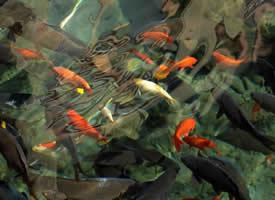 漂亮的锦鲤鱼图片