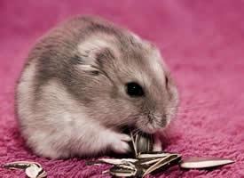一组可爱至极的小豚鼠图片
