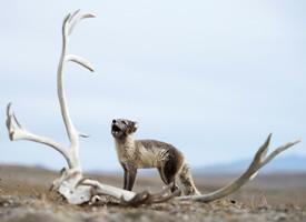 俄罗斯摄影师拍摄的北极狐