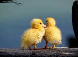 一组超可爱的小黄鸭图片