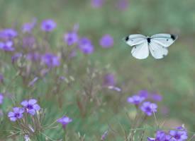 一组紫色花丛中的白蝴蝶