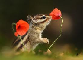 一组拍的超级唯美的花栗鼠
